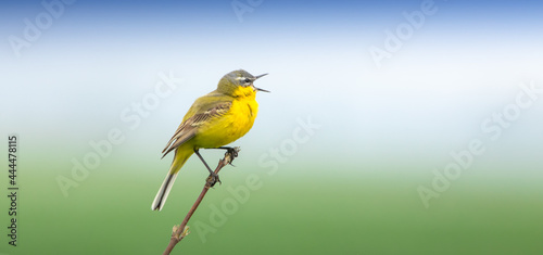 Photographie Western Yellow Wagtail, sitting on a branch and singing