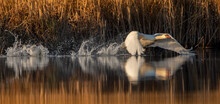 A White Swan Takes Off Or Lands On A Lake.