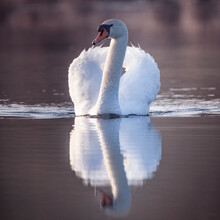 Large White Male Swan Sitting In The Water.