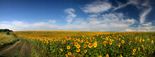 Panorama Field Of Sunflowers, High-resolution Photography, Summer Landscape