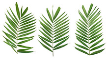 Palm Green Leaf Branch Isolated On White Background With Clipping Path Included. Tropical Green Leaves Concept