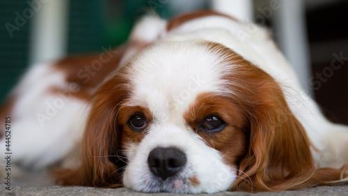 Fotografering A Cavalier King Charles Spaniel dog