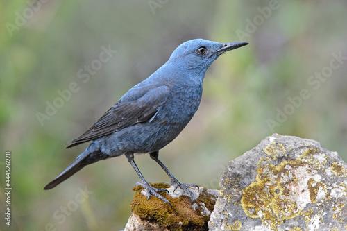 Fototapeta Blue rock thrush (Monticola solitarius)
