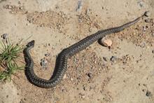 Black Dead Snake On The Asphalt Road. Ecological Problems