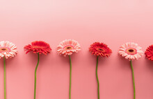Red And Pink Gerbera Daisies In A Raw On A Pink Background
