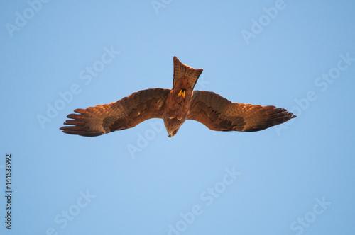 Photo Black Kite, Milvus migrans, in flight under a blue sky.