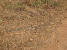 Large Ladder Snake In Spain