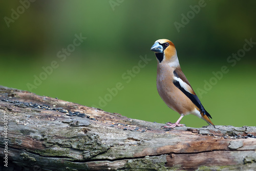 Fotografia The hawfinch (Coccothraustes coccothraustes) sitting on the branch