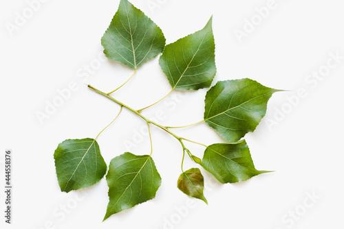 Fotografia poplar leaves on a white background, green leaves on a white background, a branc
