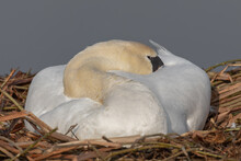 A Mute Swan Resting Asleep On Her Nest