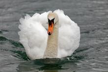 A Beautiful Mute Swan Swimming On A Lake