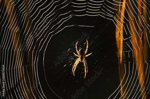 Canvastavla spider on the web