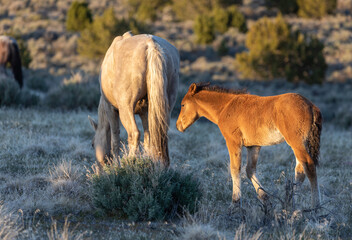 Wild Horse Mare and Foal in the Utah Desert
