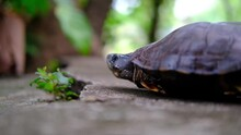 Turtle Moving Slowly And Showing Head. Turtle, Tortoise Profile Shell