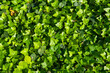 Green ivy leaves