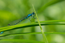 Coenagrionidae. Blue Dragonfly On A Green Leaf. A Dragonfly With Big Eyes Close-up Sits On A Green Leaf Of A River Plant. Natural Blurred Green Background. Macro Of A Insect. Space For Text
