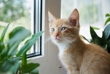 Cat On A White Window With A Plant And In Pots. The Kitten Sniffs House Plants. Dangers Of Domestic Plants For Pets
