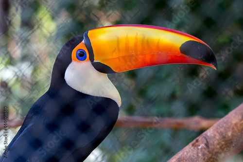 Photographie Colorful toucan with large beak in selective focus and blurred background