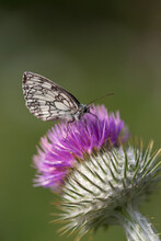 Black White Butterfly Macro On Thistle