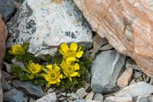 Alpine Buttercup Flowers In Aoraki National Park, New Zealand