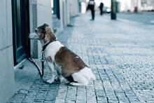 Sad Puppy Leashed In Front Of A Door, Standing On The Cobbled Ground Outdoors