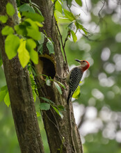 Closeup Of A Cute Red-bellied Woodpecker Pecking At A Tree On A Sunny Day With A Blurry Background