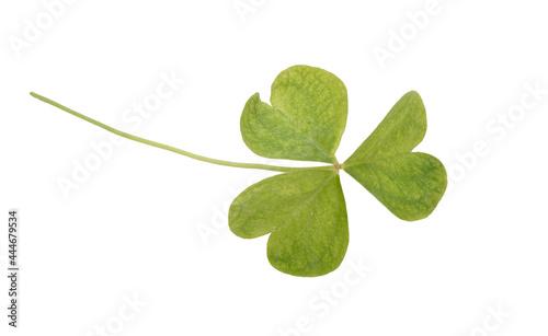 Tela Oxalis acetosella or wood sorrel. Isolated on white background