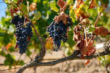 Closeup Shot Of Bunches Of Ripe Black Grapes Amid Dry Leaves On A Blurred Background