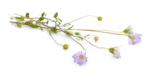 Scabiosa, Pincushion Flowers. Isolated On White Background