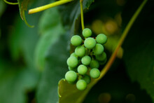 Closeup Of Grapes Growing On Vines In A Vineyard With A Blurry Background
