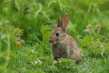 Baby Wild Rabbit (Oryctolagus Cuniculus) Sitting In A Field.