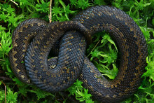 Snake Viper In The Swamp, Reptile In The Wild, Poisonous Dangerous Animal, Wildlife