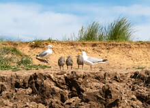 Family Of Seagulls On A Sand Bank