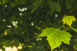 Young maple leaves on a summer afternoon in a city park.