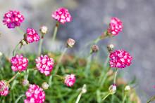 Close Up Of Armeria Maritima Flowers In Bloom