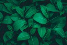 Rainy Season, Water Drop On Lush Green Foliage In Rain Forest, Nature Background, Dark Toned Process