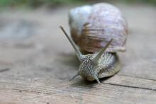 Large Snail On A Wooden Surface. Nature And Food