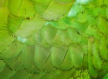 Vibrant Green Feathers Of A Colourful Native Australian Rosella Bird