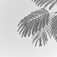 Branches And Leaves Of Albizia As Summer Black And White Background. .