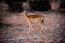 Thompson Gazella In The Wild African Savannah
