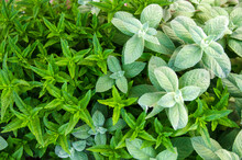 Different Types And Varieties Of Mint Grow In The Garden. Natural Wallpaper. Aromatherapy. Nature.
