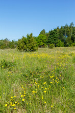 Flowering Meadow With Yellow Buttercups Flowers