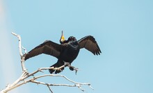 Cormorant Fluffs Feathers On Dry Wood