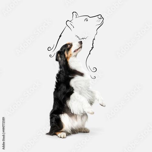 Portrait of Australian Shepherd dog standing on its hind legs isolated over white background Fototapet