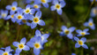 canvas print picture - Beautiful Patch of Bluets Blooming Along the Blue Ridge Parkway