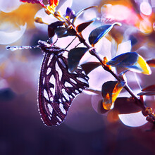 Silver Butterfly On Morning Leaf And Background Bokeh