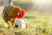 Free Range Rooster Pecking In The Grass, Looking For Food On A Sunny Day
