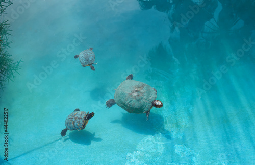 Tela captive turtle family swimming in a pond
