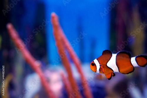 Obraz na plátně Clownfish.