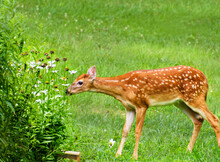 White Tailed Deer Fawn Nibbling Daisy Flowers In Late Summer Garden